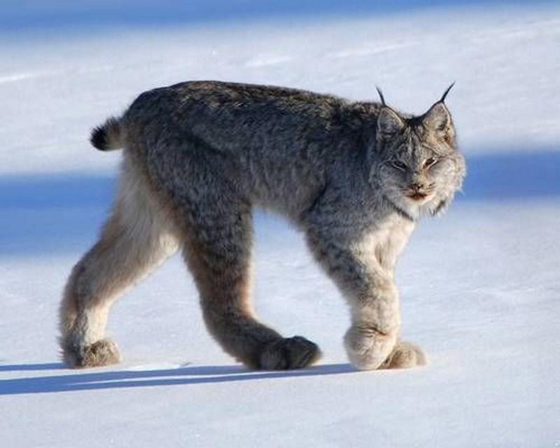 canadese-lynx