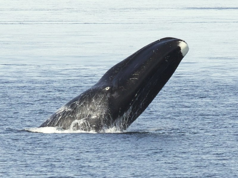 groenlandse-walvis-2