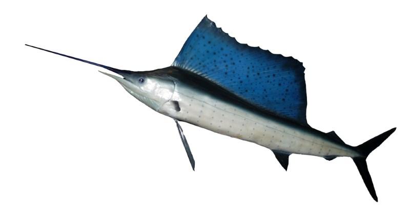 istiophorus