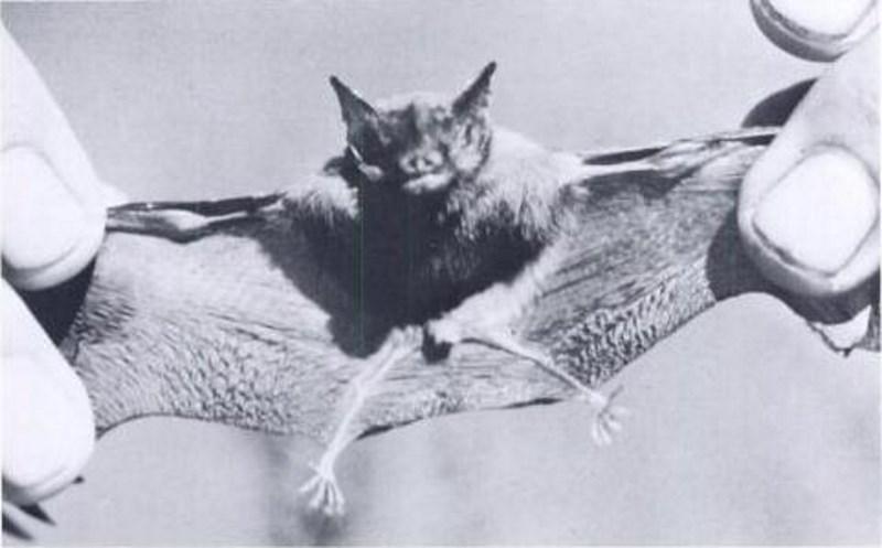 kittis-varkensneusvleermuis