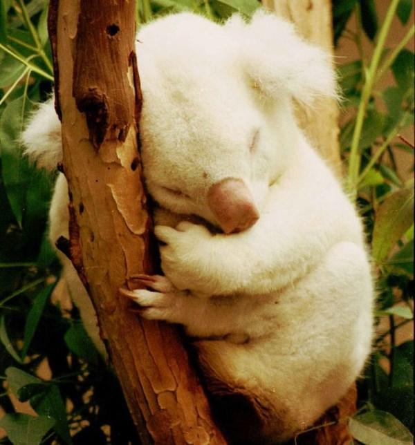 onya-birri-koala