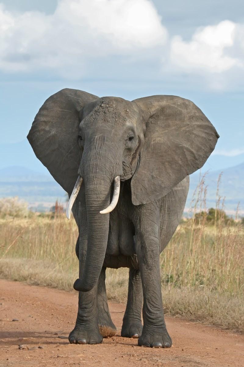 savanne-olifant