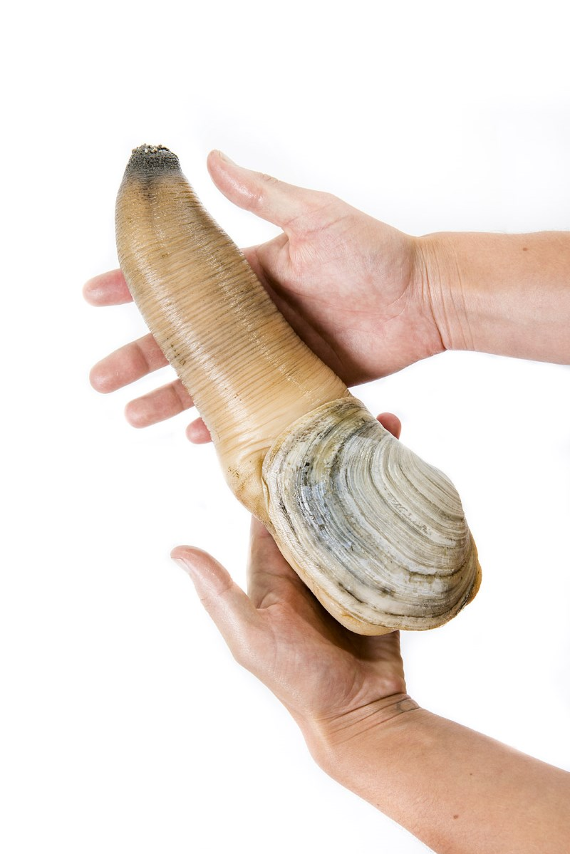 Stock photos of a live geoduck harvested in Washington State photographed in studio on Fri., Aug. 1, 2014. Hand model is Emily Dunn-Wilder of the Evergreen Shellfish Club. **NOTE** please credit: geoduck courtesy of Taylor Shellfish Farms