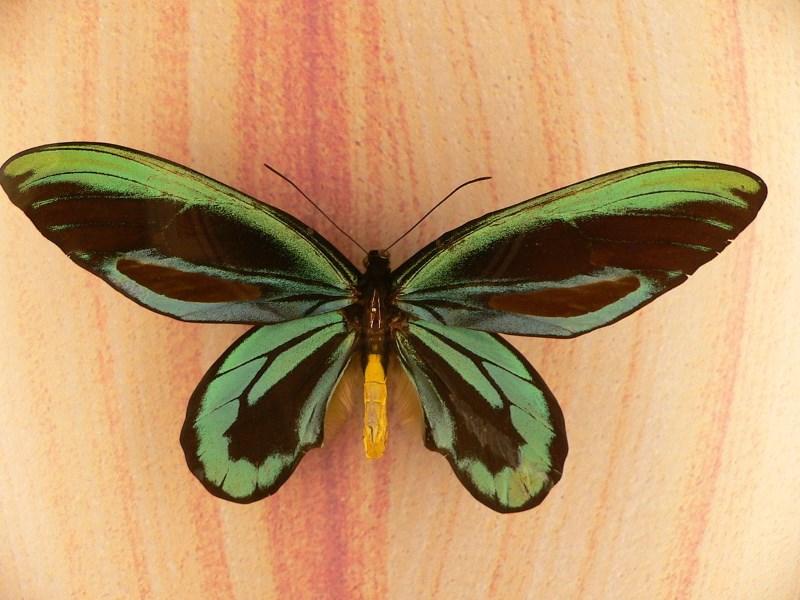alexandra-vogelvlinder