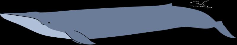 blauwe-vinvis2