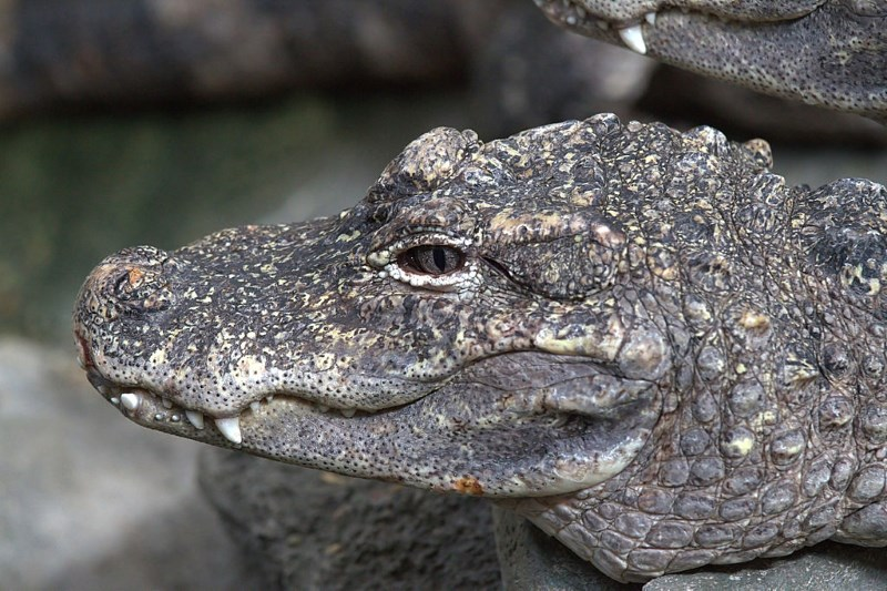chinese-alligator