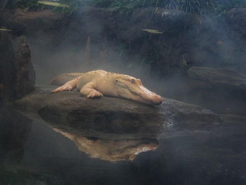 claude-de-alligator