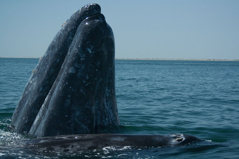 grijze-walvis