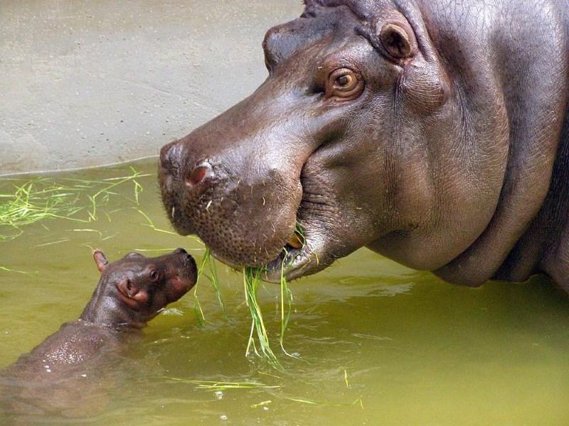 nijlpaard-baby