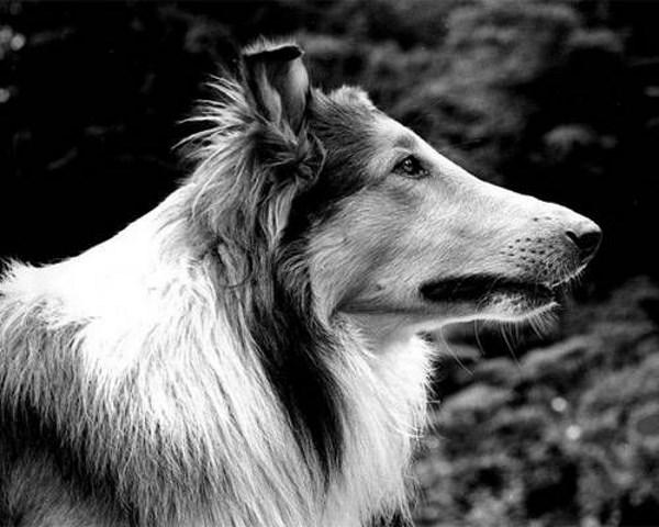 pal-lassie
