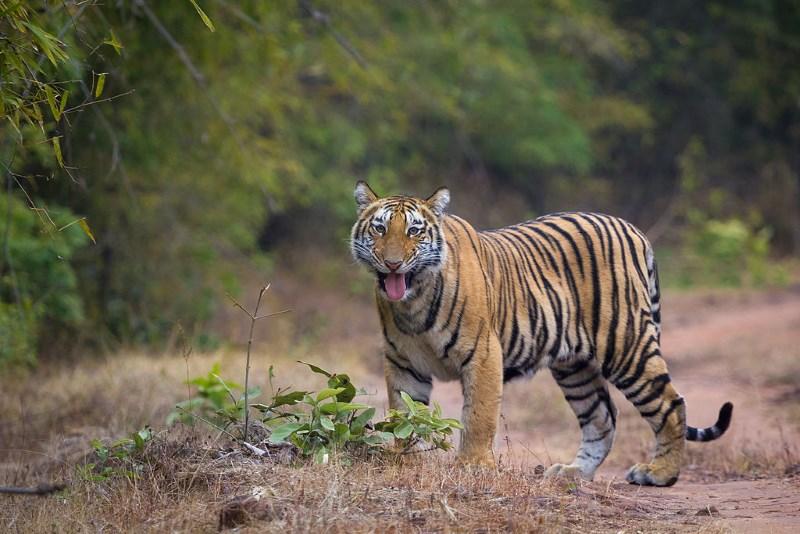 tijger2