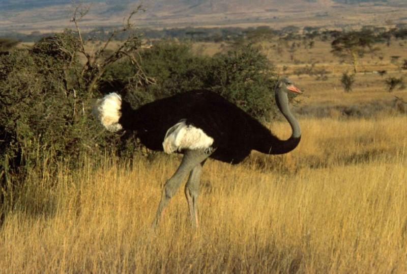somalische-struisvogel2
