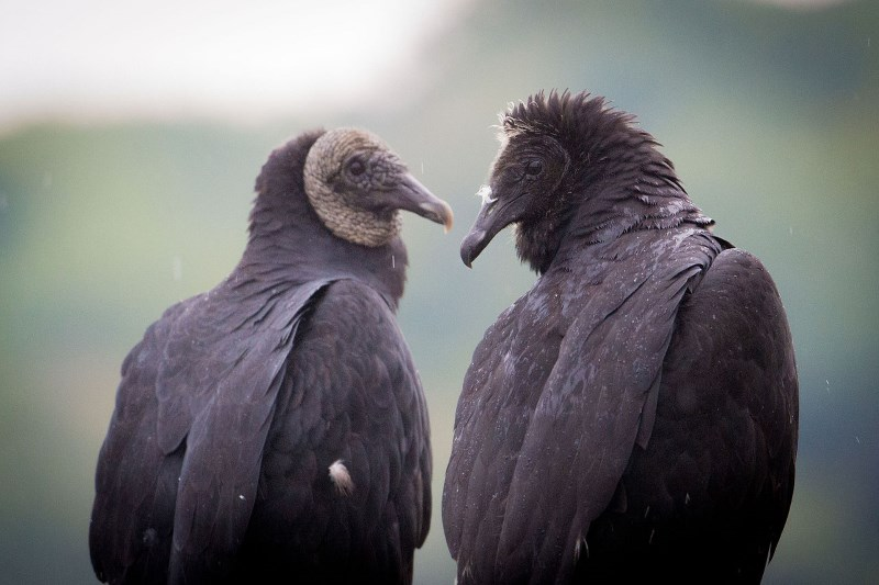 zwarte-gier