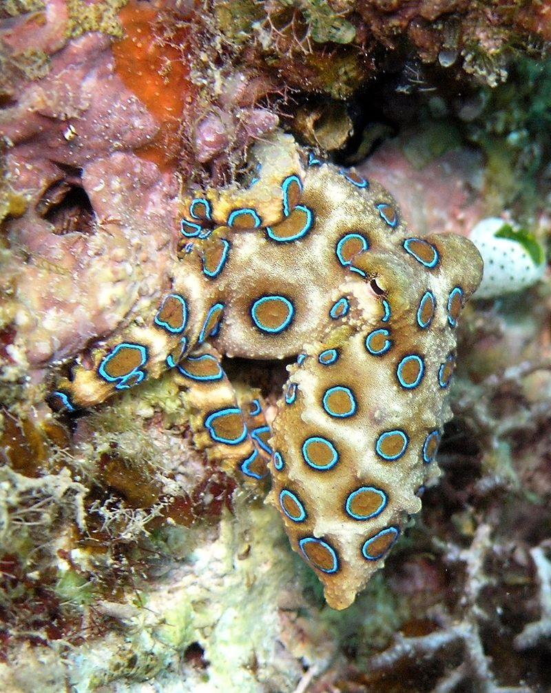 Blauwgeringde octopus