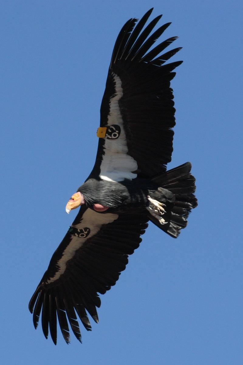 Californische condor2