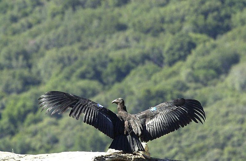 Californische condor3