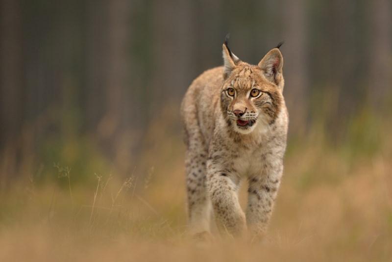 Euraziatische lynx 2