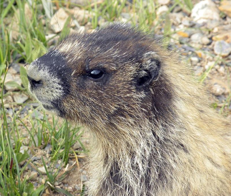Grijze marmot2