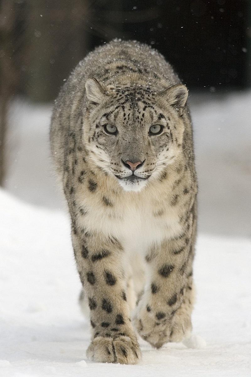 Sneeuwluipaard