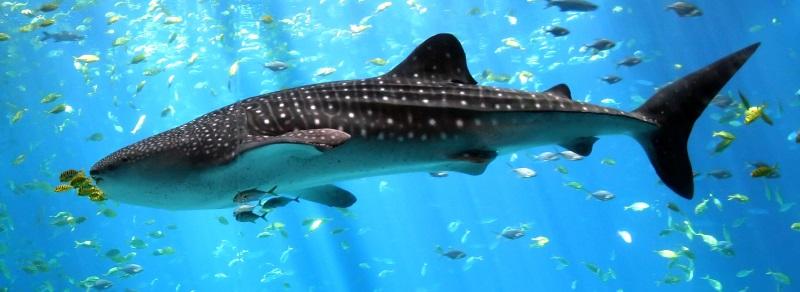 Walvishaai grootste haai ter wereld
