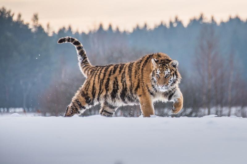 siberische tijger 3