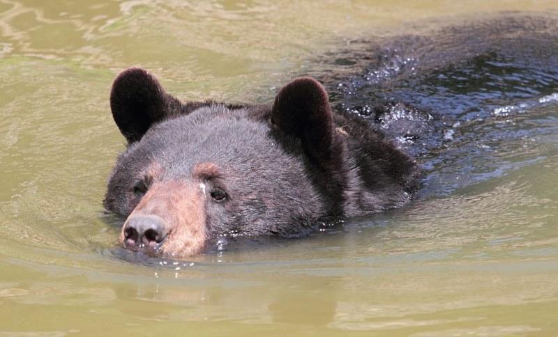 Amerikaanse zwarte beer2