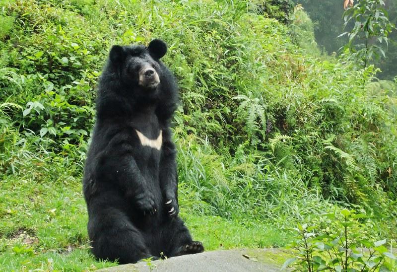 Aziatische zwarte beer