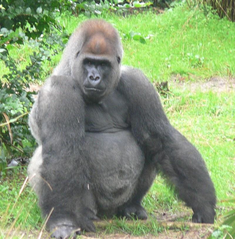 Westelijke gorilla