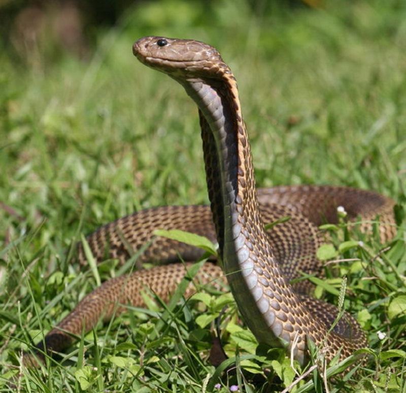 filipijnse cobra