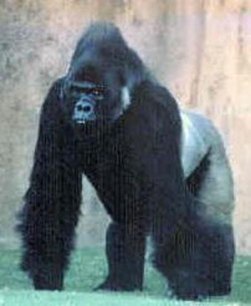 grauer gorilla