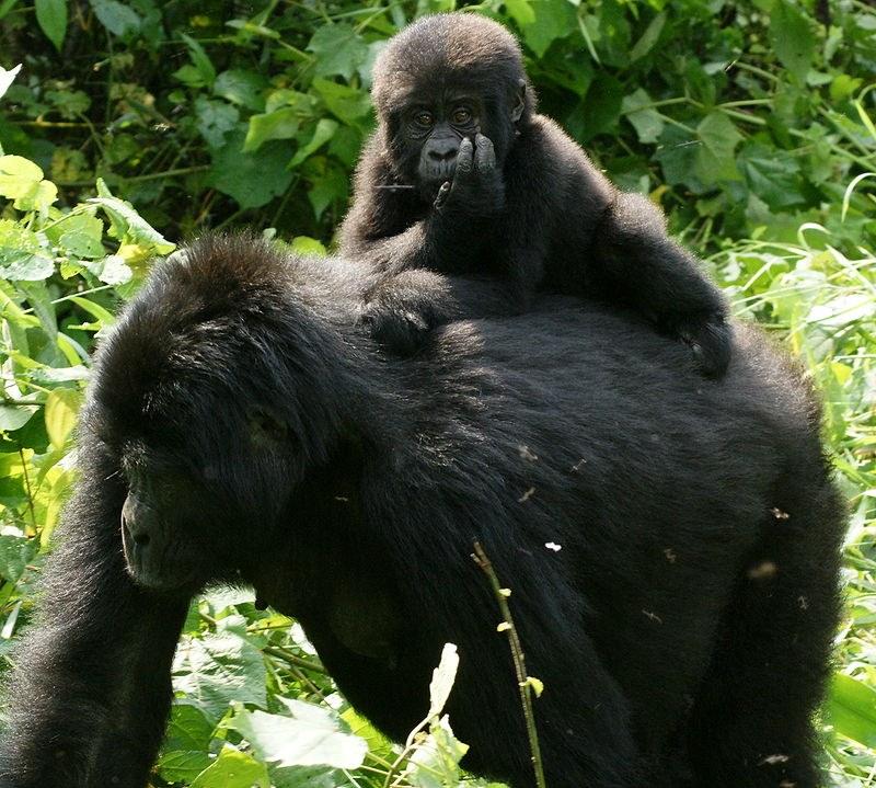 oostelijke gorilla 2