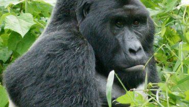 oostelijke gorilla