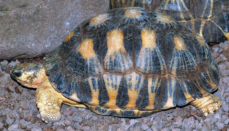 stralenschildpad