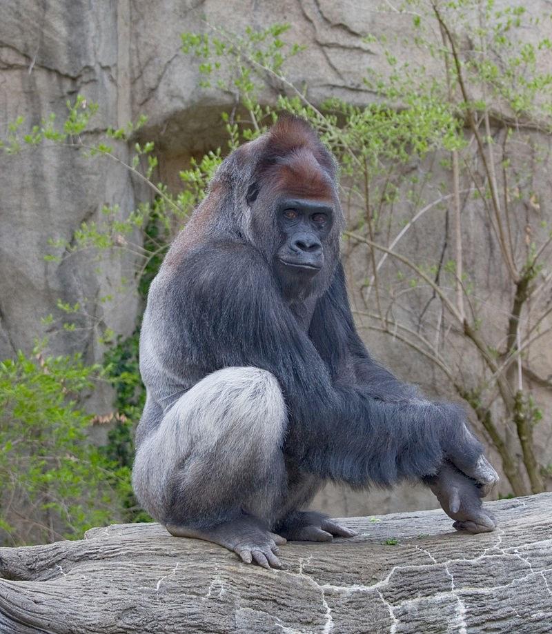 westerlijke laagland gorilla