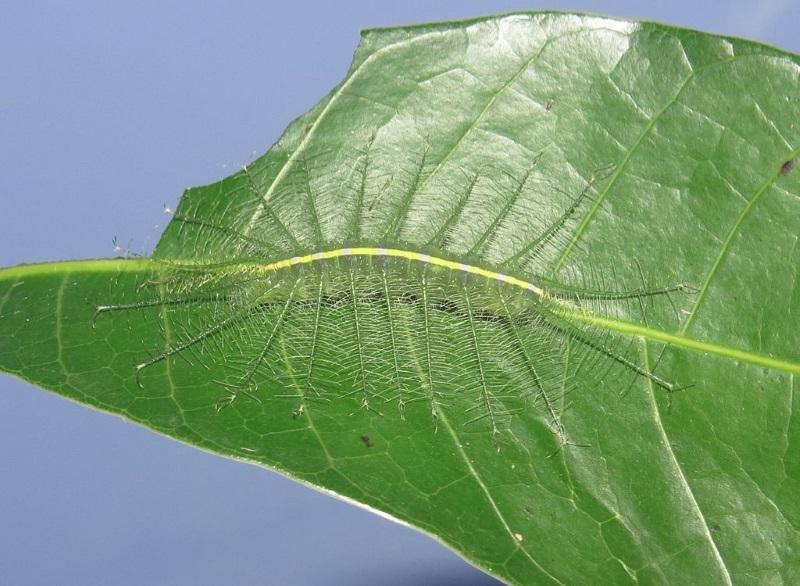 Euthalia aconthea