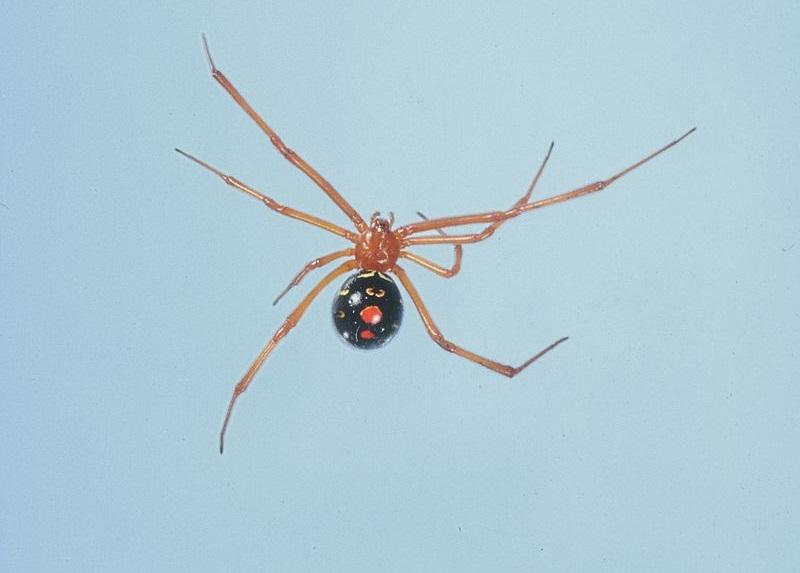 top 10 gevaarlijkste en giftigste spinnen op aarde - dierenfun