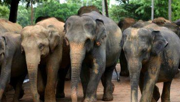 Aziatische olifant2