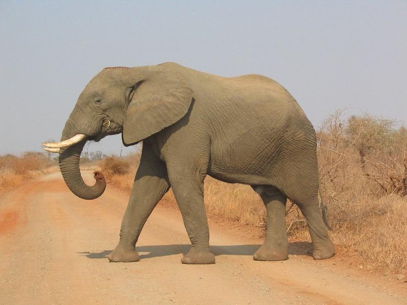 Savanneolifant2