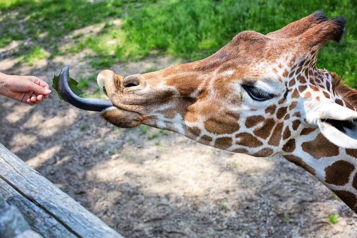 giraffe tong blauw
