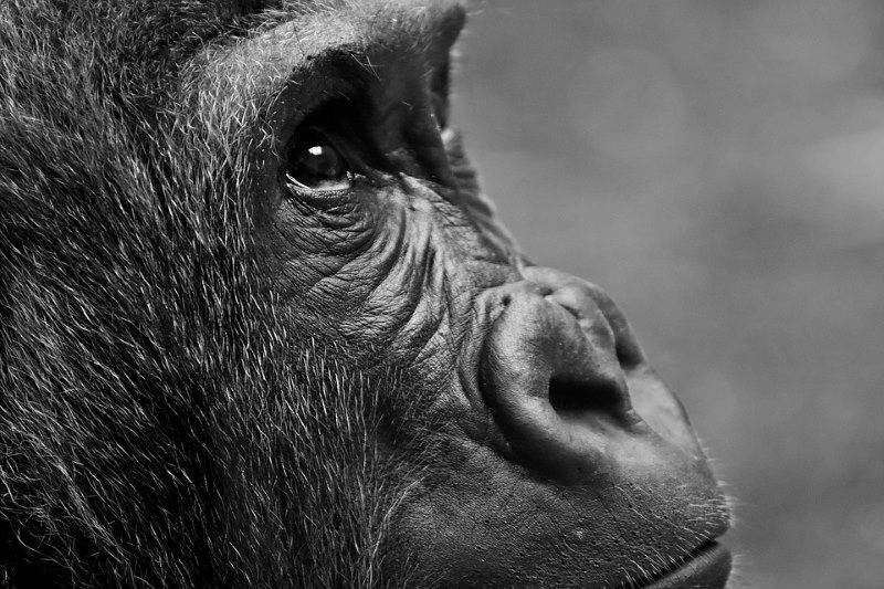 gorilla beschermd