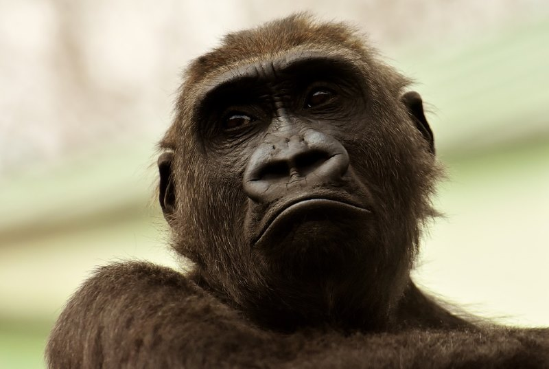 gorilla emoties