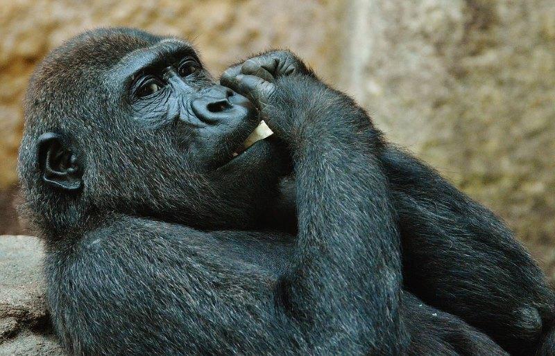 gorilla eten