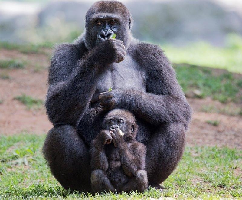 gorilla voortplanting