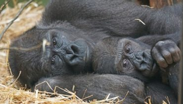 gorilla vriendelijk