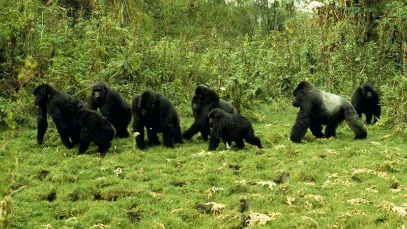 groep gorillas