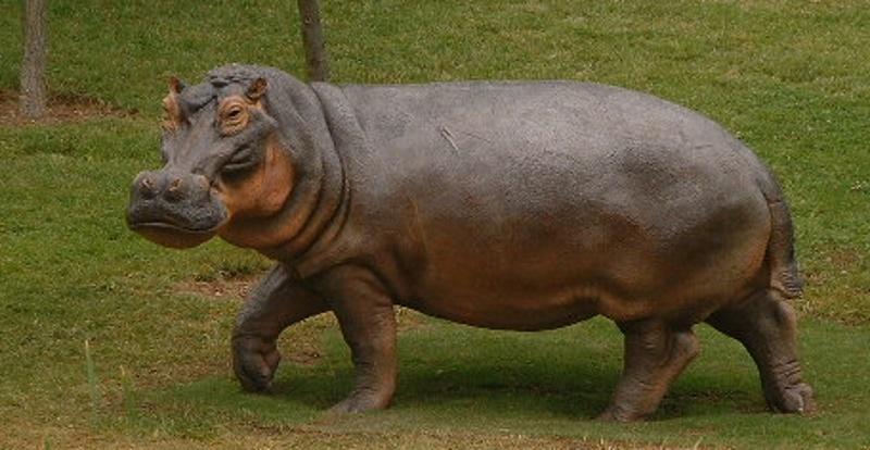 Hippopotamus gorgops,