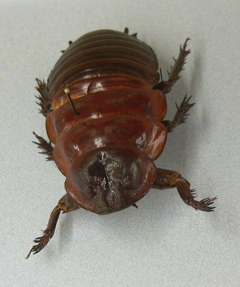 Macropanesthia rhinoceros