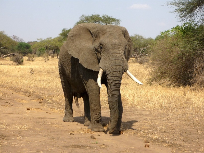 Savanneolifanten