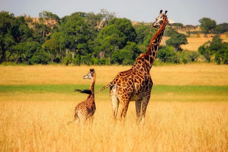 giraffen staart