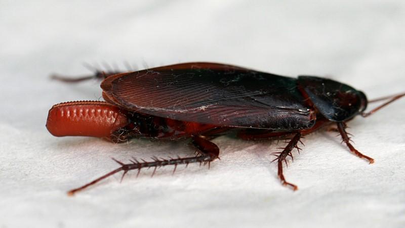 kakkerlak eitjes